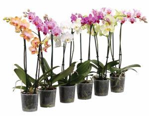 Lončnica Orhideja, 2 stebelna