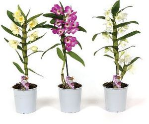 Lončnica Dendrobium nobile 1 st., fi 12cm