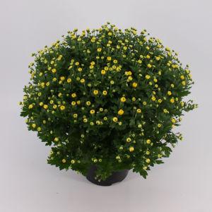 Lončnica Krizantema krogla mix, fi 19cm