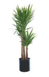 Lončnica Yucca, 3stebeljna, fi 24cm
